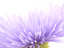 Lila Blume. Makro. Stockfoto