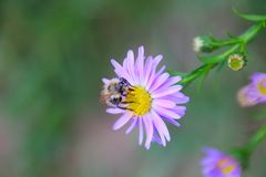 Purple flower with a bee royalty free stock photos