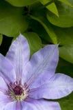 Lila Blume von Clematis Stockbild