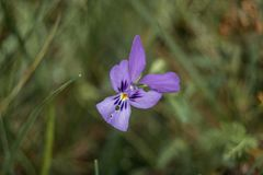 lila Blume von Iris germanica Lizenzfreie Stockfotografie