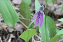 Lila Blume von Liliengewächsen Stockbilder