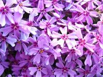 Lila Blumen Stockbild
