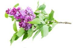 Lila Blumen Stockbilder