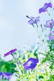 Lila Blumen auf dem Gebiet Lizenzfreie Stockbilder
