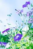 Lila Blumen auf dem Gebiet Stockfoto