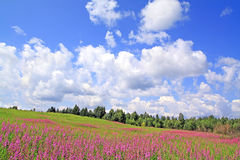 Lila Blumen auf Feld Stockfoto