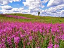 Lila Blumen auf Feld Lizenzfreie Stockbilder