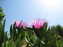 Lila Blumen auf Hintergrund des blauen Himmels Stockfotografie