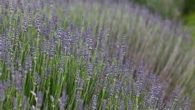 Lila Blumen in der Wiese Lizenzfreie Stockfotos