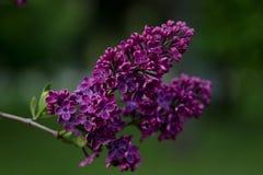 Lila Blumen, die im Frühjahr blühen Lizenzfreie Stockbilder