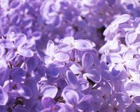 Lila Blumen - Foto auf Lager Lizenzfreies Stockfoto