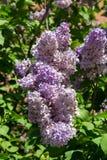 Lila Blumen gegen gr?ne Bl?tter im Fr?hjahr an einem klaren sonnigen Tag Die Beschaffenheit der Flora des m??igen Klimas lizenzfreie stockfotografie