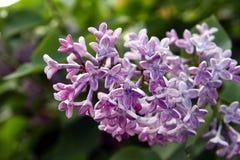 Lila Blumen im Garten Stockfotos