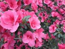 Lila Blumen, purpurrote Blumen Blühender Baum im Frühjahr Rose blüht, rosa Blumen, rosa Azaleen Stockfoto