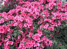 Lila Blumen, purpurrote Blumen Blühender Baum im Frühjahr Rose blüht, rosa Blumen, rosa Azaleen Stockbild