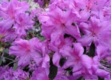 Lila Blumen, purpurrote Blumen Blühender Baum im Frühjahr Rose blüht, rosa Blumen, rosa Azaleen Stockbilder