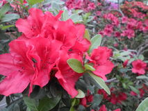 Lila Blumen, purpurrote Blumen Blühender Baum im Frühjahr Rose blüht, rosa Blumen, rosa Azaleen Lizenzfreies Stockbild