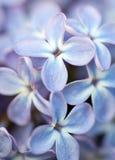 Lila Blumenabschluß oben Stockfoto
