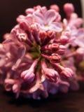 Lila Blumenmakro Stockbilder