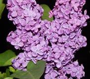 Lila Blumenmakroschuß Stockbilder
