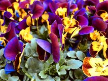 Lila bonito, colorido e pansies amarelos da mola fotografia de stock royalty free