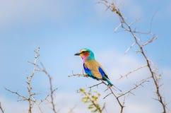 Lila Breasted Rolle Nationalpark Kruger, Südafrika Lizenzfreie Stockbilder