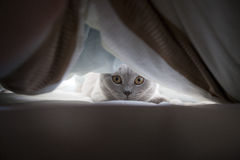 Lila Brit Cat in bed Stock Photos