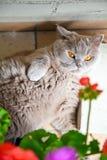 Lila brittisk katt som ligger under blommor Royaltyfria Bilder