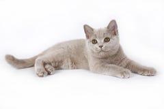 Lila brittisk kattunge. Arkivbilder