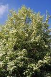 Lila Bäume Eingelassener lila Garten in Moskau Lizenzfreies Stockfoto