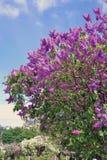 Lila Bäume Eingelassener lila Garten in Moskau Lizenzfreie Stockbilder