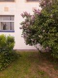 Lila buske fotografering för bildbyråer