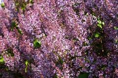 Lila buske arkivfoton