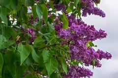 Lila buske i blom royaltyfria bilder