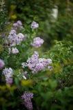 Lila buske i blom i tr?dg?rden arkivfoton