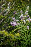 Lila buske i blom i tr?dg?rden arkivbilder