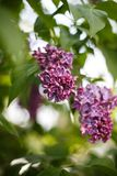 Lila buske i blom i tr?dg?rden royaltyfri fotografi