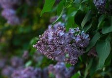Lila buske på grön bakgrund royaltyfria bilder
