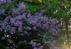 Lila buske på grön bakgrund fotografering för bildbyråer