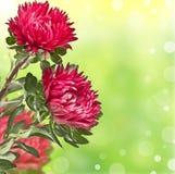 Lila chrysanthemums på slapp bakgrundsbokeh Royaltyfri Fotografi