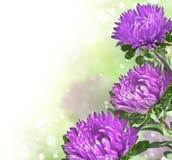 Lila chrysanthemums på slapp bakgrundsbokeh Fotografering för Bildbyråer