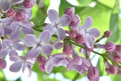 Lila común, syringa, syringa vulgaris Fotografía de archivo libre de regalías