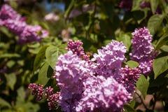 Lila con la abeja Flores púrpuras coloridos de las lilas con las hojas verdes Imágenes de archivo libres de regalías