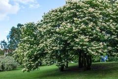 Lila de árbol japonés fotografía de archivo