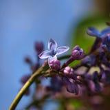 Lila de florecimiento de la flor fotos de archivo