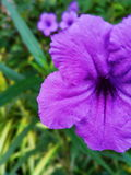 Lila de la flor Imagen de archivo libre de regalías