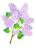 Lila del flor. Imagenes de archivo