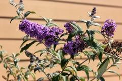 Lila del verano, Mariposa-Bush, davidii de Buddleja imagenes de archivo