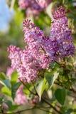 Lila filial i v?r Violetta florets av den lila v?ren i tr?dg?rd Naturtapet arkivbilder