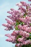 Lila filial mot blå himmel i vårdag Arkivbilder